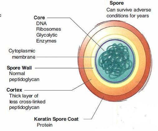 Bacterial Spores: Structure, Importance and examples of ...