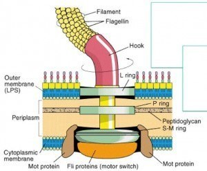 Structure of the prokaryotic flagellum
