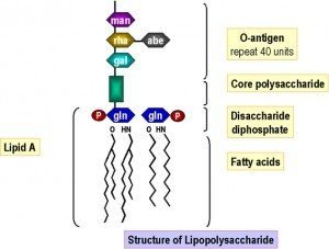 Structural Unit of Lipopolysaccharide Source: South Carolina School of Medicine