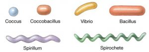Various Shapes of Bacteria