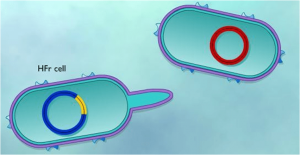 HFR Cell: F plasmid integrated in to Bacterial chromosome