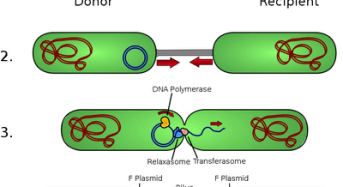 """Mechanism of Conjugation in Bacteria: The transfer of F Plasmid<span class=""""rating-result after_title mr-filter rating-result-1257"""" ><span class=""""mr-star-rating"""">    <i class=""""fa fa-star mr-star-full""""></i>        <i class=""""fa fa-star mr-star-full""""></i>        <i class=""""fa fa-star mr-star-full""""></i>        <i class=""""fa fa-star mr-star-full""""></i>        <i class=""""fa fa-star mr-star-full""""></i>    </span><span class=""""star-result"""">5/5</span><span class=""""count"""">(2)</span></span>"""