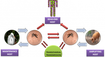Japanese Encephalitis (JE) Virus: Structure, life cycle, pathogenesis and diagnosis
