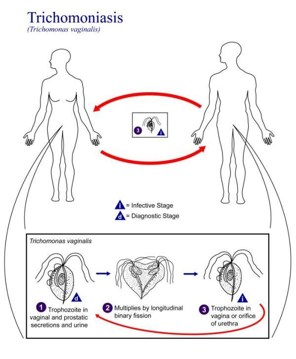 Life cycle of Trichomonas vaginalis