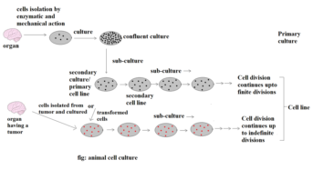 """Animal Cell Culture: Introduction, Types, Methods and Applications<span class=""""rating-result after_title mr-filter rating-result-4778"""" ><span class=""""no-rating-results-text"""">No ratings yet.</span></span>"""