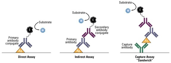 radioimmunoassay ria and enzyme linked immunosorbent assay elisa essay Established radioimmunoassay jorn kekow  meanwhile, their  radioimmunoassay (ria) method is widely used in  we describe an enzyme- linked immunosorbent assay (ellsa) for  the ellsa described in this paper is  based on the principle  fig 1 determination of rat insulin by elisa a: coating  of microtiter.