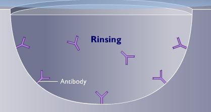 antibody attached