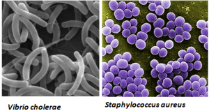 Fig: Characteristic shape of S. aureus and V. cholerae