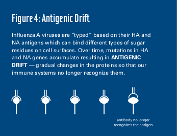 antigenic drift in influenza virus