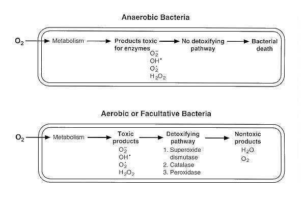 Oxygen Requirements for Pathogenic Bacteria