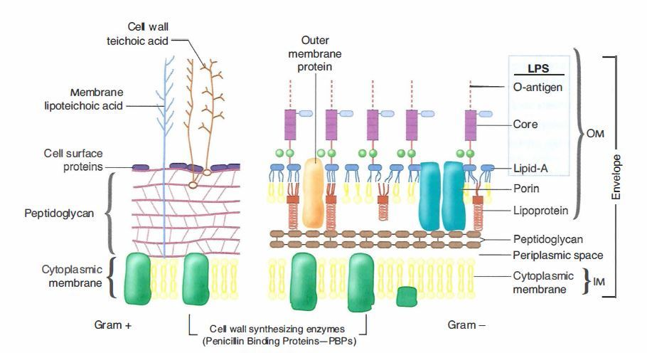 Gram staining principle procedure and results bacterial cell wall ccuart Images