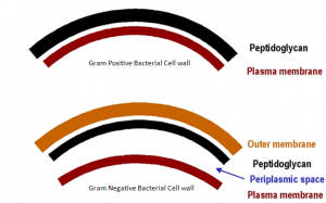 Difference between Gram positive and Gram Negative bacterial cell wall