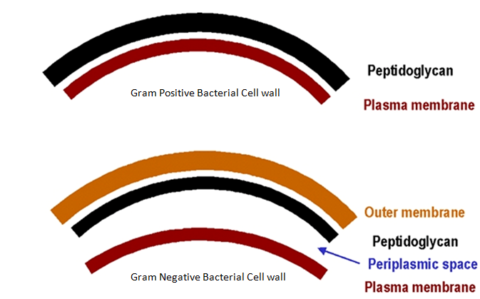 Differences between gram positive and gram negative bacteria difference between gram positive and gram negative bacterial cell wall ccuart Image collections
