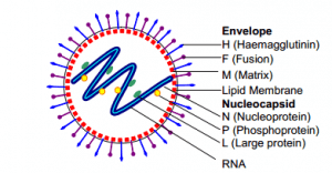 Structure of Measles Virus