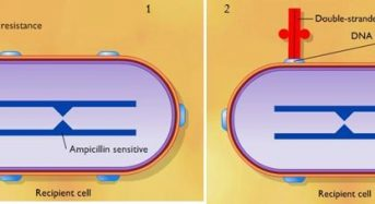 """Bacterial Transformation: Mechanism<span class=""""rating-result after_title mr-filter rating-result-1269"""" ><span class=""""mr-star-rating"""">    <i class=""""fa fa-star mr-star-full""""></i>        <i class=""""fa fa-star mr-star-full""""></i>        <i class=""""fa fa-star mr-star-full""""></i>        <i class=""""fa fa-star mr-star-full""""></i>        <i class=""""fa fa-star-half-o mr-star-half""""></i>    </span><span class=""""star-result"""">4.33/5</span><span class=""""count"""">(6)</span></span>"""
