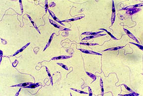 Promastigote form of Leishmania