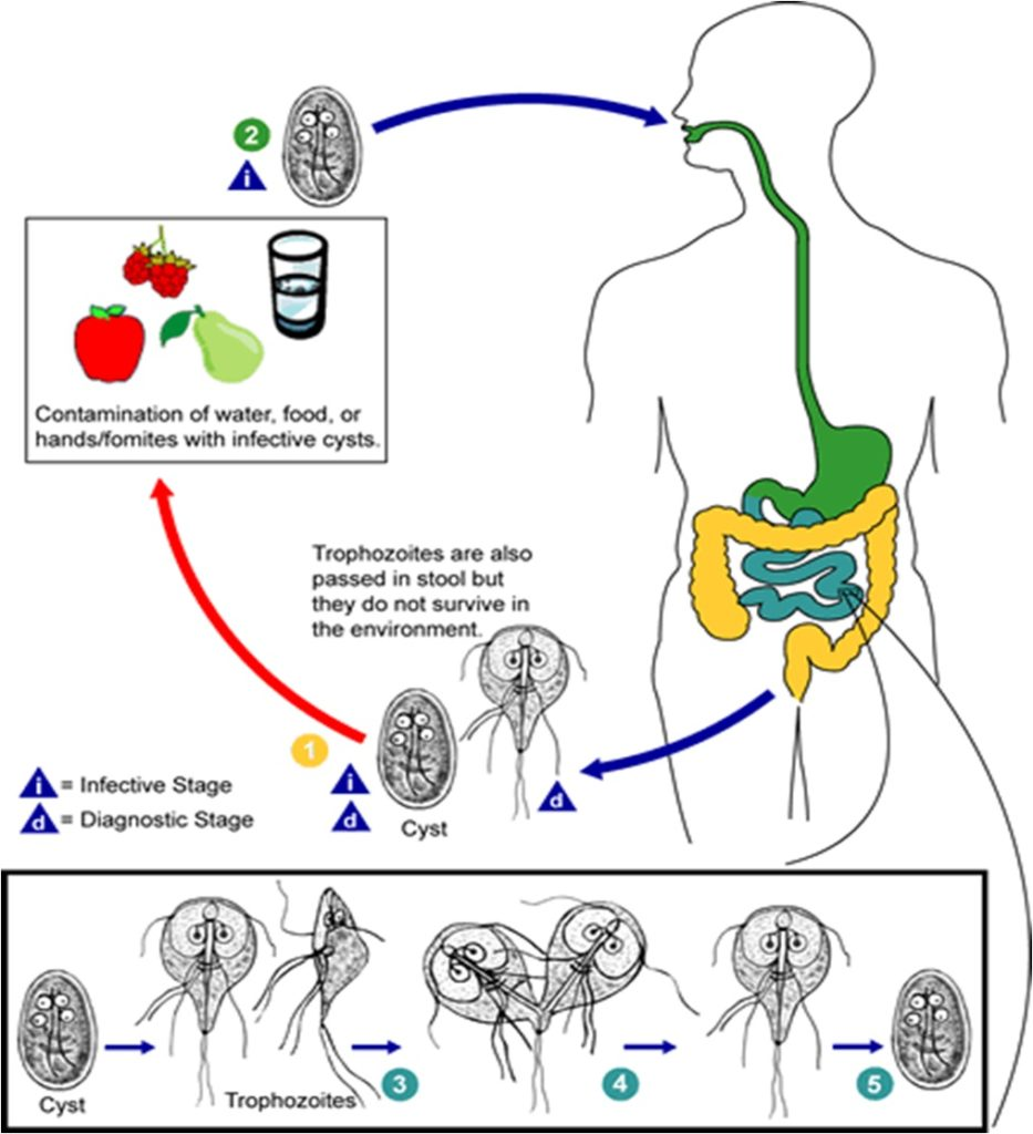 Life Cycle of Giardia lamblia (source: CDC)