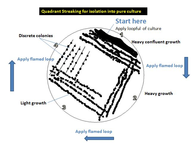 Quadrant Streaking for isolation into pure culture