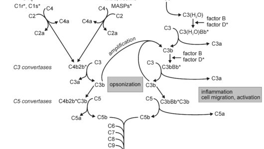 Complement System: Pathways, Functions and Regulation