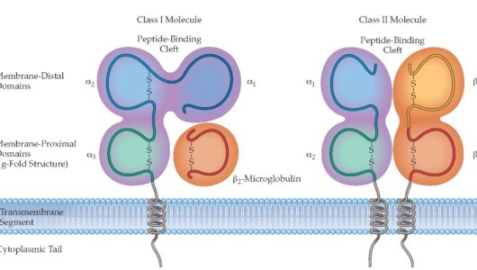 Difference between MHC Class I and MHC Class II Proteins